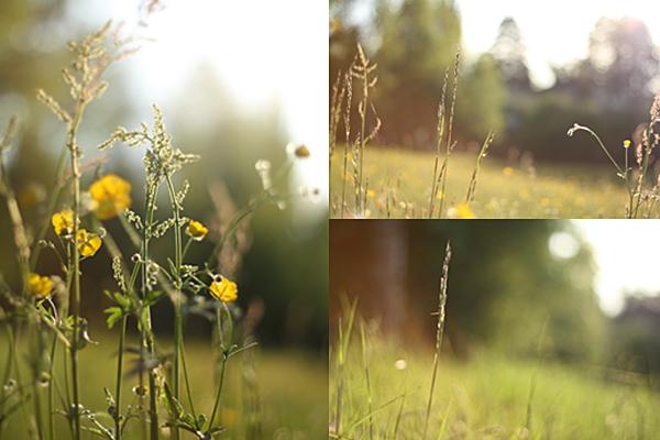 Grasses in the setting sun