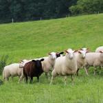 Schafe mit amüsanter Frisur :-)
